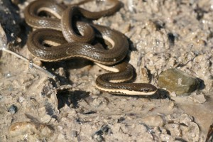 The Maitland River has the largest known Queensnake population in Canada.