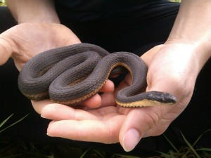 Figure 2. A large gravid (pregnant) female Queensnake. Photo by Lauren Schmuck,